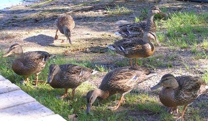 normal_Ducks